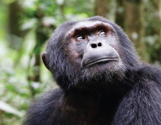 Chimpanzee habituation experience CHE in kibale forest national park uganda