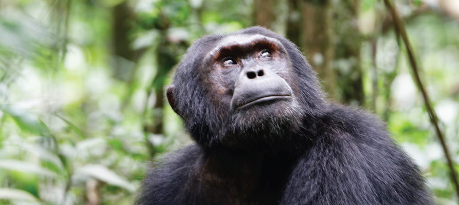 Chimpanzee tracking in kibale forest national park uganda