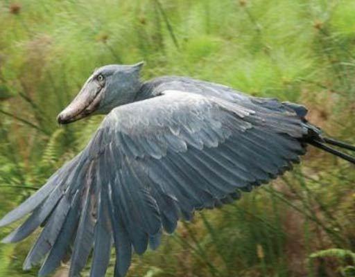 Birding and birding sites in Uganda