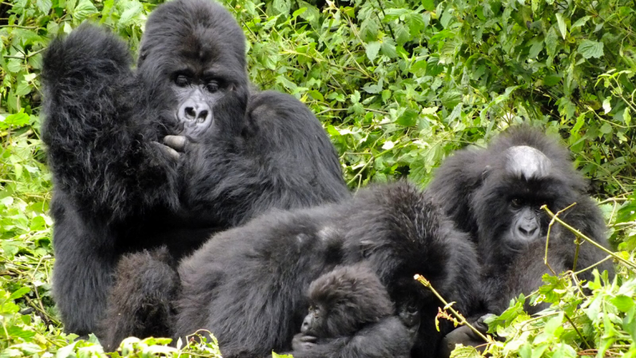 Mountain Gorilla Groups in Virunga National Park
