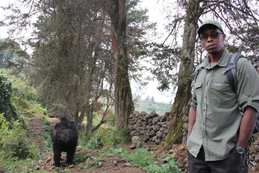 Mountain gorilla population increases