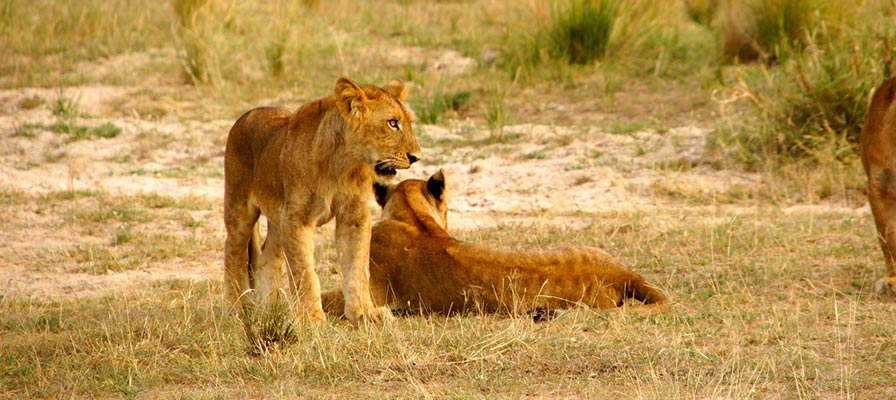 Savannah Game safari on Murchison Falls Big 5 Safari