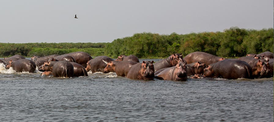 Murchison Falls Hippos on the Best of Uganda Safari