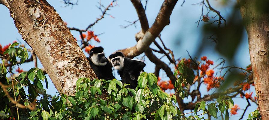 Travel to Kibale National Park, guided primates walk in Bigodi Swamp