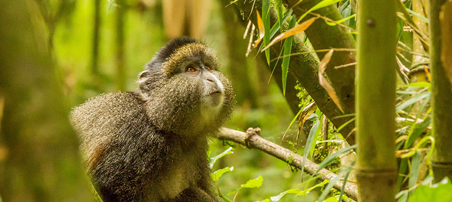Golden Monkey Trekking in Volcanoes Rwanda