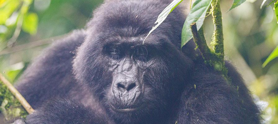 8 Day Gorillas & Chimpanzee Trekking Safari