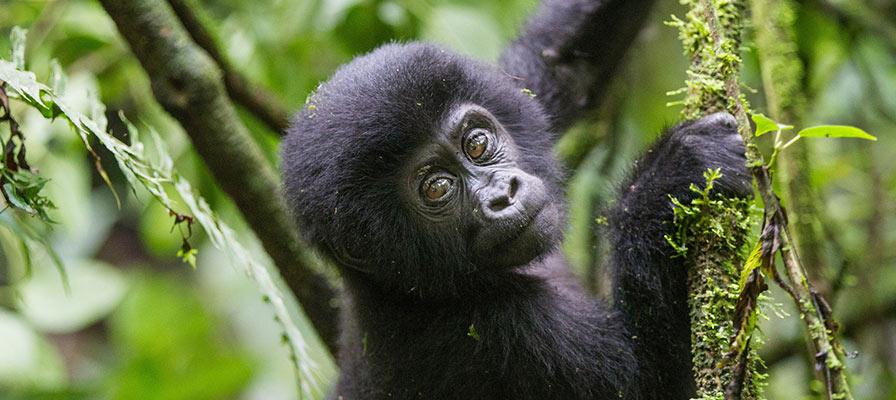 Gorilla habituation experience in Bwindi Impenetrable National Park