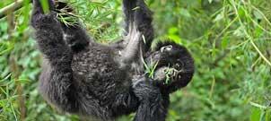 12 Days Best of Uganda Rwanda Safari