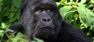 Wildlife and Gorilla Trekking Uganda Safari