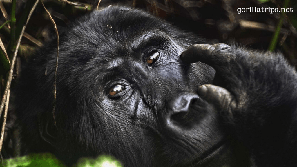 Mountain Gorilla in Uganda