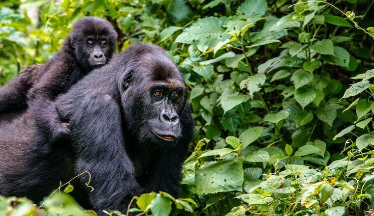 Cost Effective Gorilla Trekking Destinations of East Africa