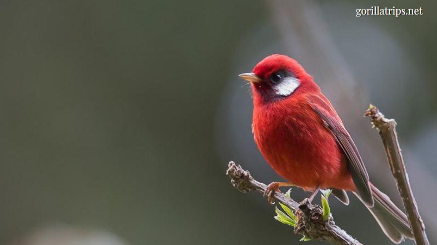 Red-faced Woodland Warbler