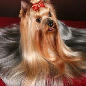 How To Groom Your Yorkie