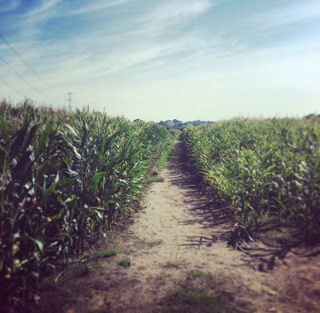 Nicky Nook Corn Fields