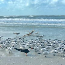 Marco Island Birds on the beach