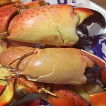 Marco Island Stone crab close up