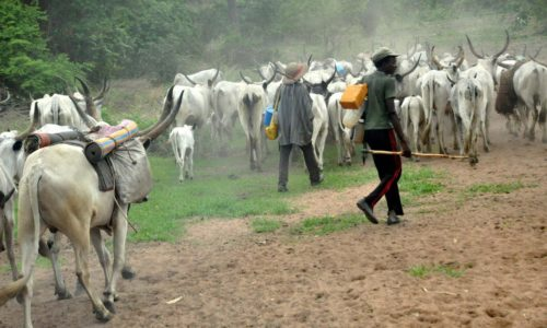 """cattless 500x300 - """"Why We Killed 86 People In Plateau Is Because The Villagers Stole 300 Of Our Cattles"""" – Miyetti Allah"""