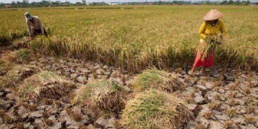 Tanpa Bantuan Dinas Pertanian, Petani Sipora Selatan Mampu Hasilkan 3 Ton Padi per Hektar