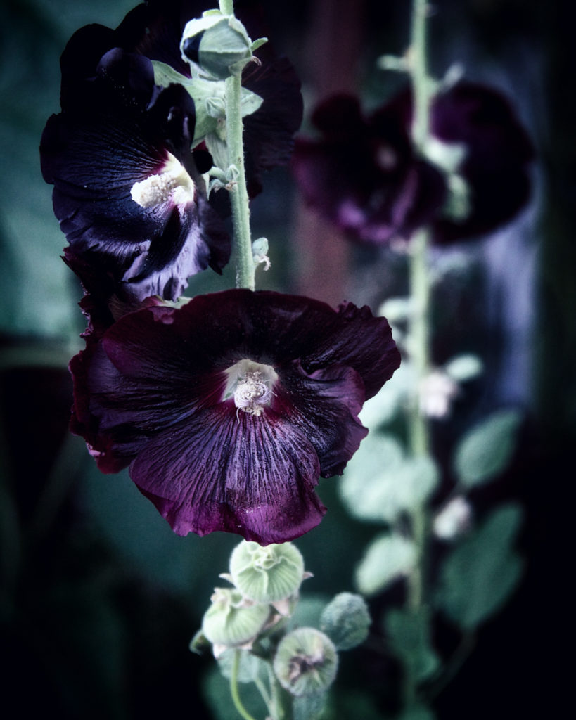 Hollyhock symbolism and meaning
