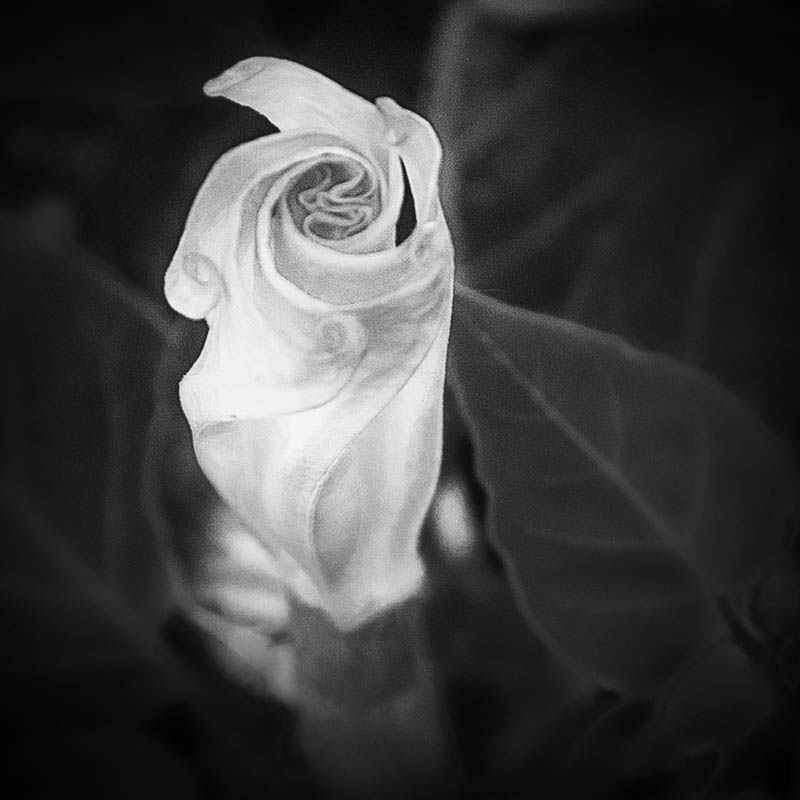 Datura beginning to unfurl, July 1, 2016