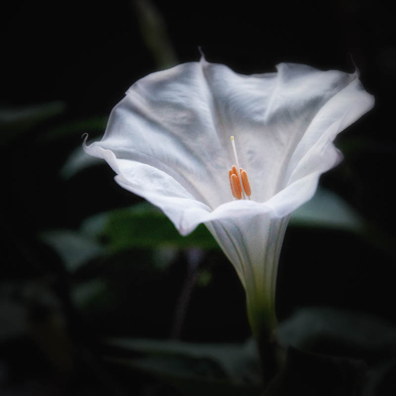 Datura fully open, July 1, 2016