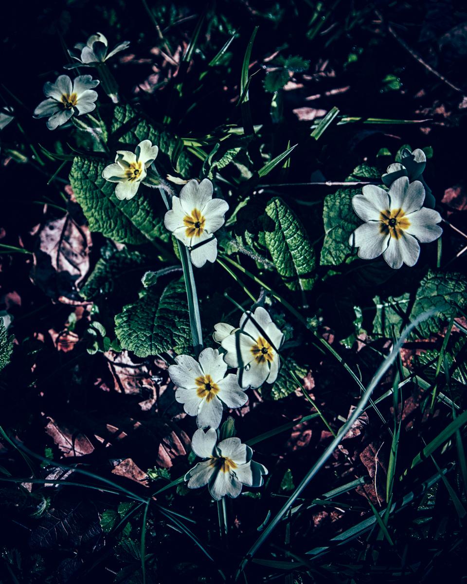 Primrose flowers in the wild, Wiltshire, UK