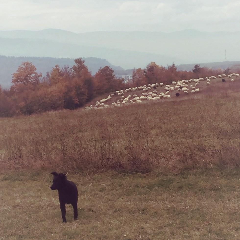 Fårflock i Bosnien