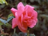 Tea-rose-pink