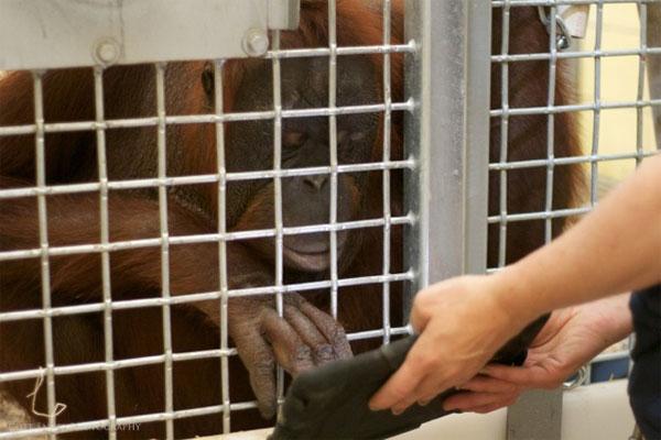 Orangutans Love iPads