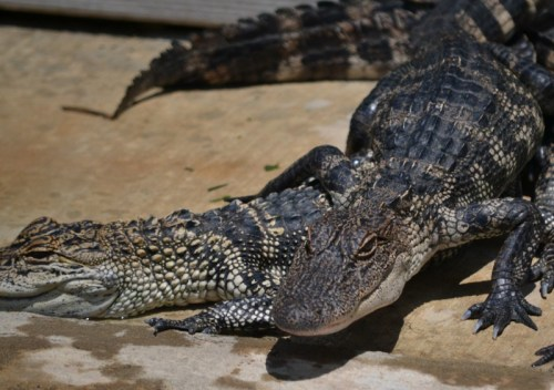 Aligator Farm found using Roadside app