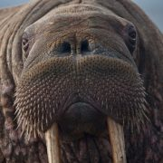 Image of a fat walrus