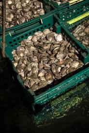 OMA-huitres de Belon