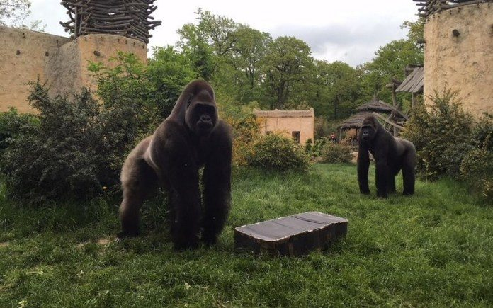 Recycle old phones to save African gorillas