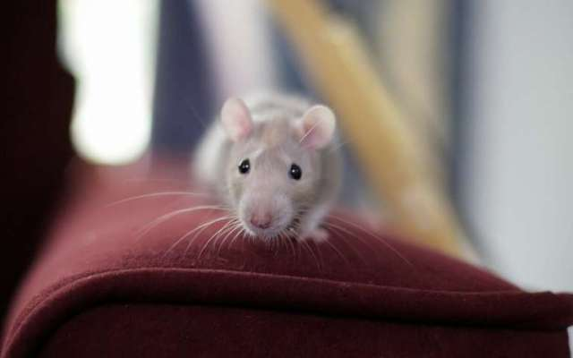 Studies in mice give clues to combatting changes in aging muscle stem cells