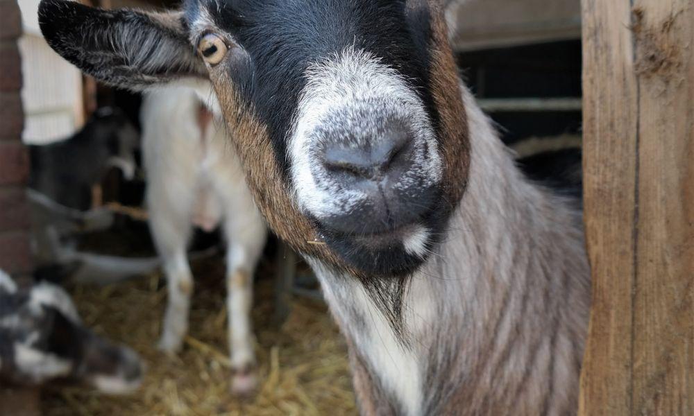 Big Sheep Little Cow