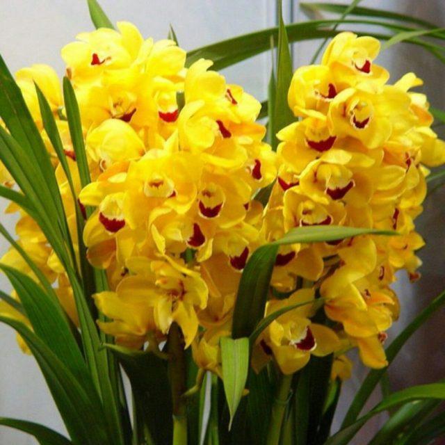 cultivar orquideas amarelas