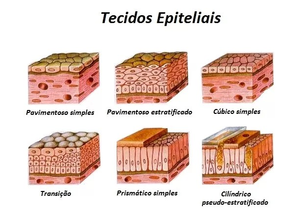 tecido epitelial
