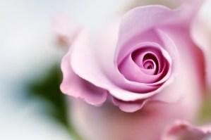 Rose âme