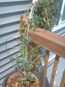 2013 Tomato Plant