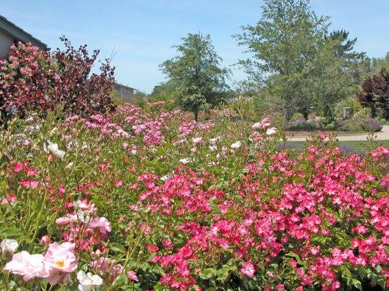 Escapade and Gay Vista Roses