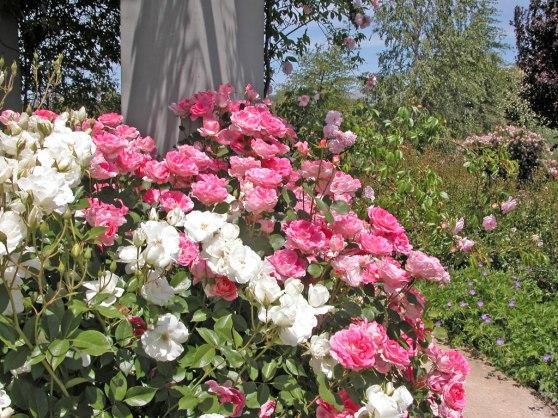 Iceberg and Carefree Wonder Roses