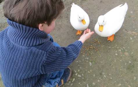 Feeding ducks may not be a walk in the park
