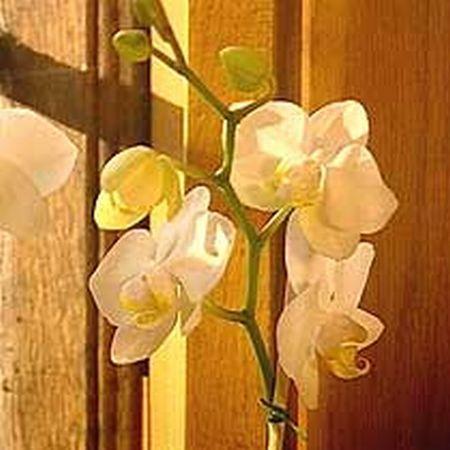 Phalaenopsis 8