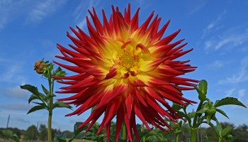 giant red and yellow dinnerplate dahlia flower. Taken @ The Dahlia Garden of the National Capital Dahlia Society, Agricultural History Farm Park in Derwood, Maryland.