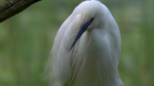 little egret - listen to the future generation