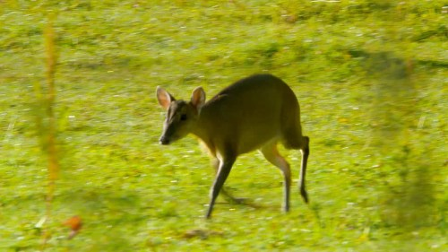 muntjac deer crossing field