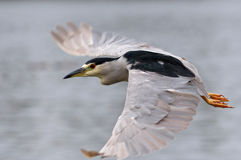 California Bird Photography Including Great Blue Herons