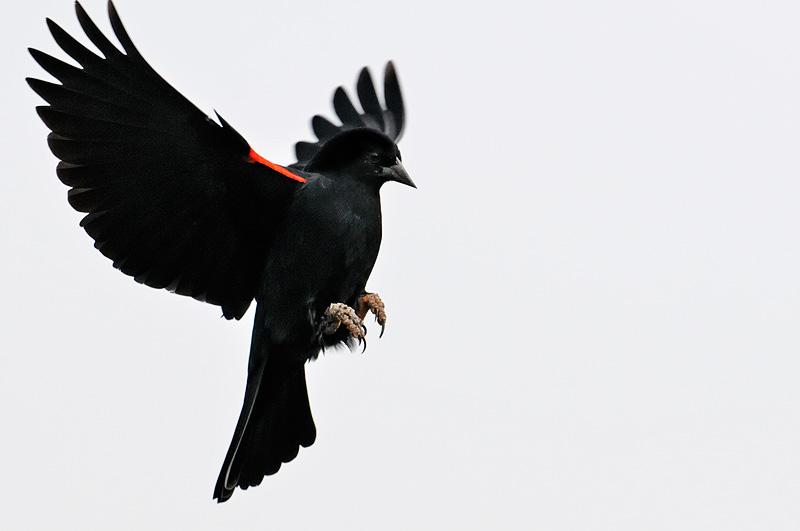 Image result for  blackbird flying