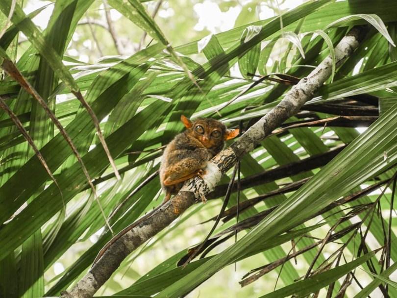 Sanctuaire des tarsiers Bohol