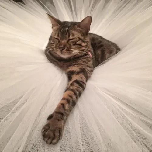The family cat in a tutu